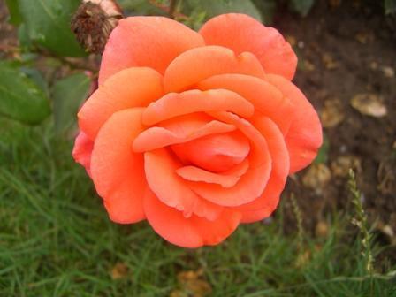 Roos in de tuin bij Sangerhausen