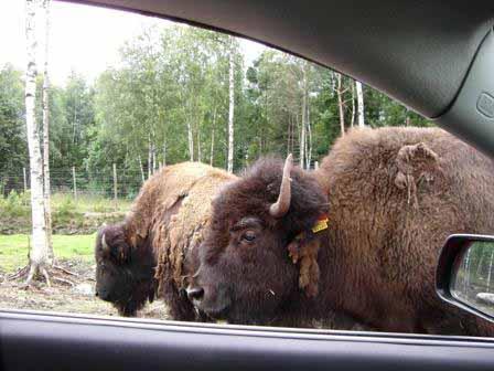 Bizons vlak bij de auto