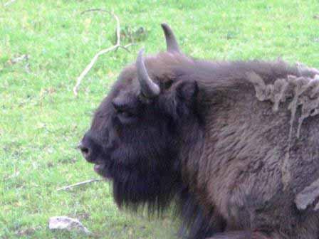 Skanes dierenpark bizon