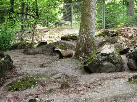 Een das in het dierenpark
