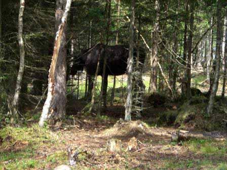 Zuid-Zweden bos, een eland