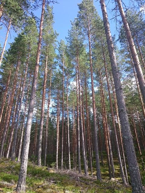 Prachtige hoge bomen tijdens een wandeling in Zweden.